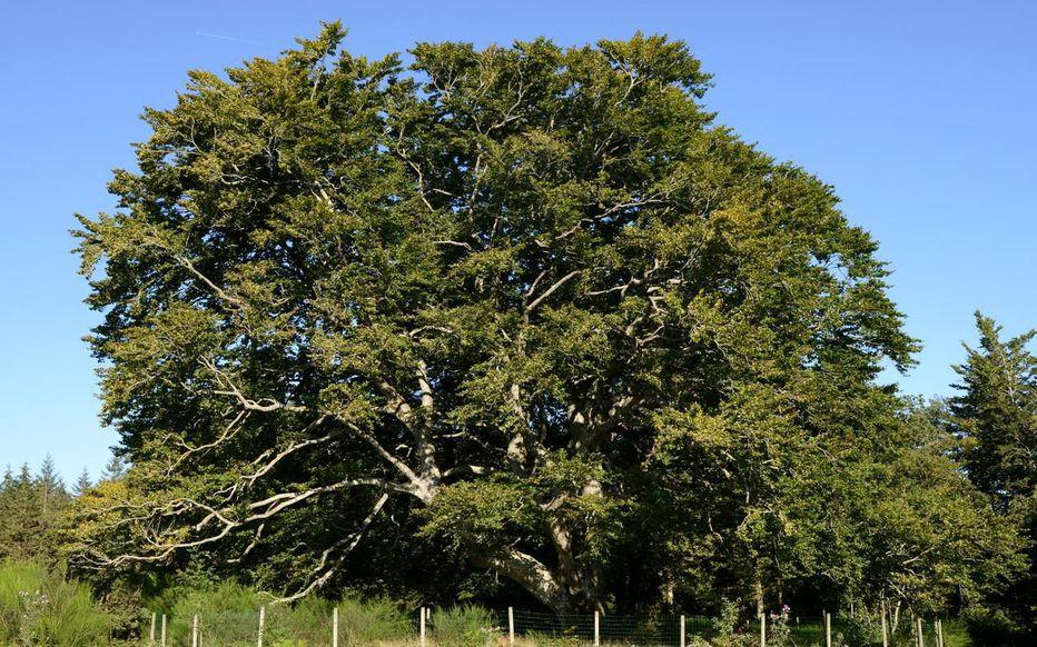 arbre hetre